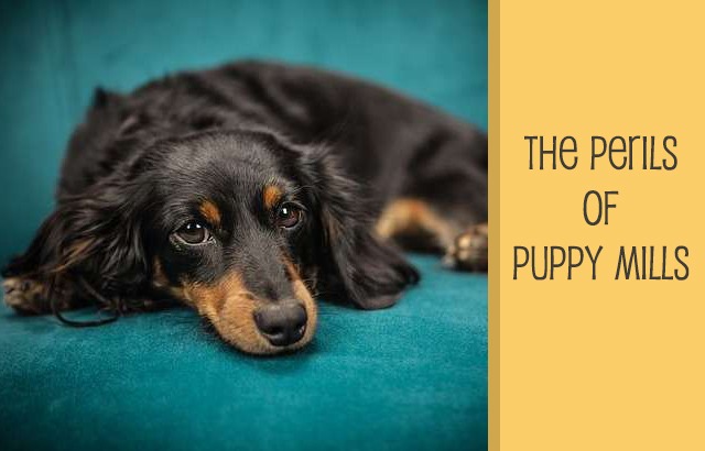 The Perils of Puppy Mills