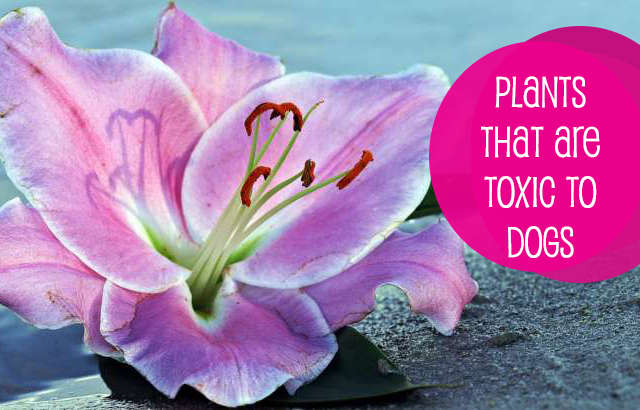 Plants that are Toxic for Dogs